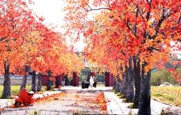 Ngắm hàng cây phong lá đỏ lãng mạn như trong phim Hàn tại Hà Nội