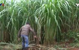 Lâm đồng phát triển đồng cỏ chăn nuôi quy mô lớn