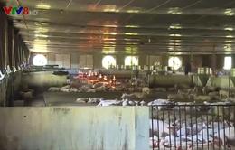 Khánh Hòa: Ổn định chăn nuôi heo trong mùa dịch bệnh