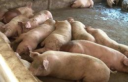 Giá lợn hơi có thể lên 60.000 đồng/kg do nguồn cung giảm mạnh