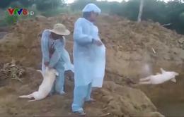 Mất khả năng tái đàn chăn nuôi heo ở Quảng Ngãi