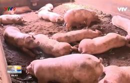 Người chăn nuôi e ngại tái đàn heo