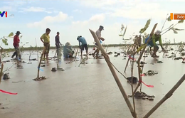 Nỗ lực trồng rừng phòng hộ chống sạt lở ở Vĩnh Long