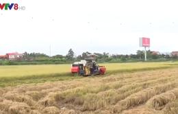 Đà Nẵng: Người dân gặt lúa chạy mưa lũ