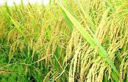 Hà Nội lựa chọn được 15 giống lúa chất lượng cao