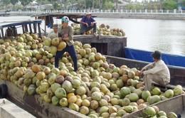 Trà Vinh: Giá dừa khô tăng cao