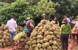 Đắk Lắk có vùng sầu riêng VietGAP đầu tiên