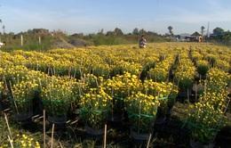 Nông dân ĐBSCL được mùa hoa Tết
