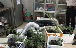 Hà Nội: Khởi tố nam thanh niên thuê nhà trồng cần sa