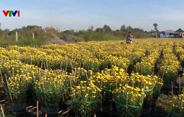 Nông dân ĐBSCL hối hả chuẩn bị hoa Tết