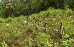 Colombia phá số lượng kỷ lục các đồn điền trồng coca