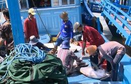 Khánh Hòa: Giá cá ngừ ở mức thấp