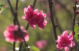 Đắk Nông: hoa Tết vào vụ