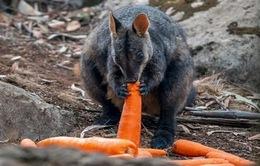 Australia thả 1 tấn rau củ cứu động vật bị đói vì cháy rừng