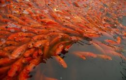 Làng cá chép đỏ nhộn nhịp trước ngày tiễn Táo quân về trời