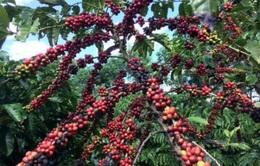 Giá cà phê thế giới giảm mạnh