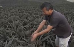 Nông dân Philippines trắng tay vì tro bụi núi lửa