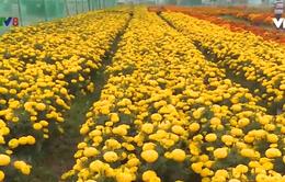 Hoa rẻ - nông dân mong người mua sớm