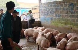Khó kiểm soát thương lái đẩy giá thịt lợn