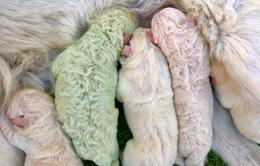 Độc lạ, chú chó lông xanh tự nhiên vừa chào đời tại Italy