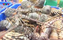 Phú Yên: Ngư dân trắng tay vì tôm hùm chết sau lũ