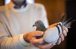 Chim bồ câu đắt nhất thế giới có giá gần 44 tỷ đồng