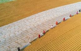Trung Quốc hạn chế trồng các loại cây không phải ngũ cốc