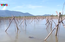 Rừng ngập mặn chết vì nhiễm mặn