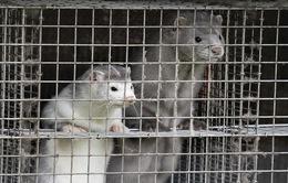 WHO: Thỏ và chồn có thể là động vật lây SARS-CoV-2 sang người