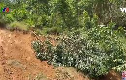 Trồng keo gia tăng nguy cơ sạt lở đất