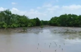 Về với rừng ngập mặn Cù Lao Dung, Sóc Trăng