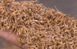 Giải quyết thiếu lúa giống sau thiên tai