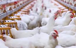 Thúc đẩy chăn nuôi gà công nghệ cao