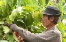 Cà phê đến kỳ thu hoạch, người dân lập tổ đội bảo vệ phòng trộm cắp