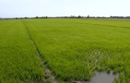 Nhiều giải pháp cứu lúa mùa hạn mặn tại Trà Vinh