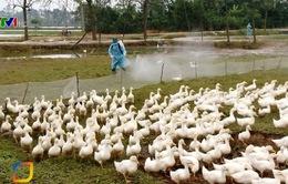 Khó khăn trong việc phòng chống dịch cúm gia cầm H5N6