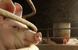 Nguồn cung thịt lợn tại Trung Quốc bị ảnh hưởng bởi dịch bệnh