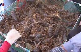 Ngư dân nuôi tôm hùm tìm cách giảm chi phí để vượt qua khó khăn