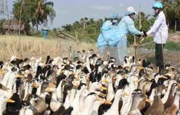 Trà Vinh tiêu hủy gần 1.000 con gia cầm nhiễm cúm A/H5N1