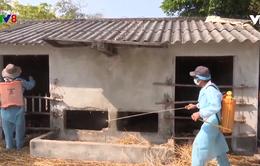 Quảng Nam tăng cường phòng chống dịch bệnh gia súc, gia cầm