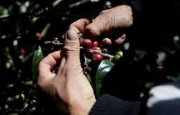 Các sản phẩm cà phê của Colombia sẽ được bình ổn giá