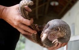 Gần 900.000 con tê tê bị buôn lậu tại Đông Nam Á