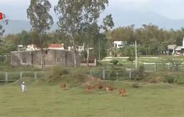 Phá rào chắn cao tốc Đà Nẵng - Quảng Ngãi để chăn thả gia súc