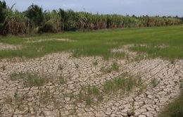 Xuống giống bất chấp khuyến cáo, hàng chục ngàn hécta lúa bị thiệt hại