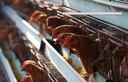 Trung Quốc: Hàng trăm triệu con gà có nguy cơ bị xóa sổ vì virus Corona mới