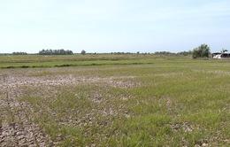 Hàng ngàn ha lúa ở Trà Vinh bị chết khô