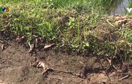 Cảnh báo chuột phá hoại đồng ruộng ở Quảng Nam