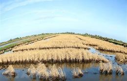 Hàng nghìn ha lúa trước nguy cơ bị mất trắng do hạn mặn