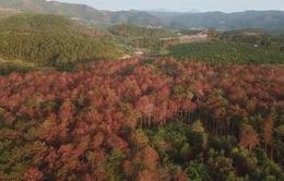 Khó khăn trong bảo vệ rừng thông tại Lâm Đồng