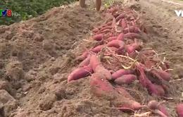 Thừa Thiên - Huế: Chuyển đổi sản xuất trên diện tích hạn mặn